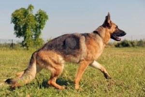 10443056-portrait-of-a-purebred-german-shepherd-walking-in-a-field